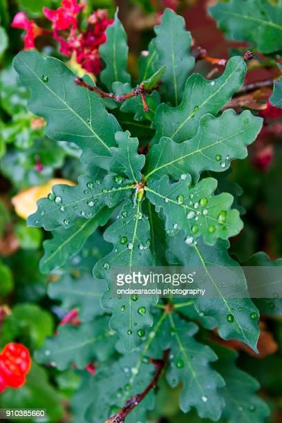 ornamental oak tree - foglia di quercia foto e immagini stock