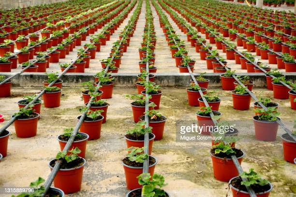 ornamental plant nursery - ornamental plant stock pictures, royalty-free photos & images