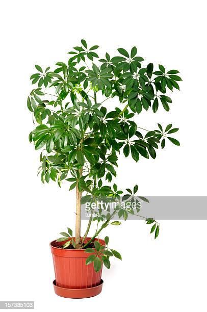 Enten-Plant