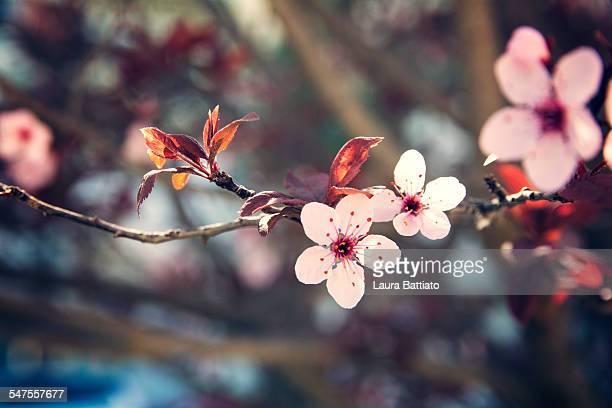 Ornamental plum blooming