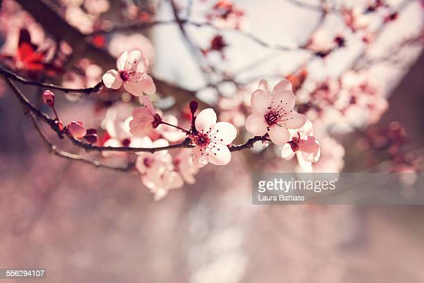 ornamental plum blooming - dogwood blossom stock pictures, royalty-free photos & images