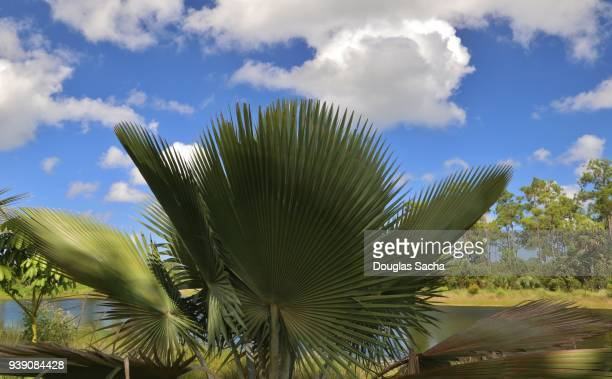 ornate bailey palm tree (copernicia baileyana) - marco island stock pictures, royalty-free photos & images