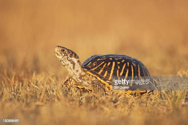 ornate box turtle (terrapene ornata), male, sinton, corpus christi, coastal bend, texas coast, usa - asiatische wildkatze stock-fotos und bilder