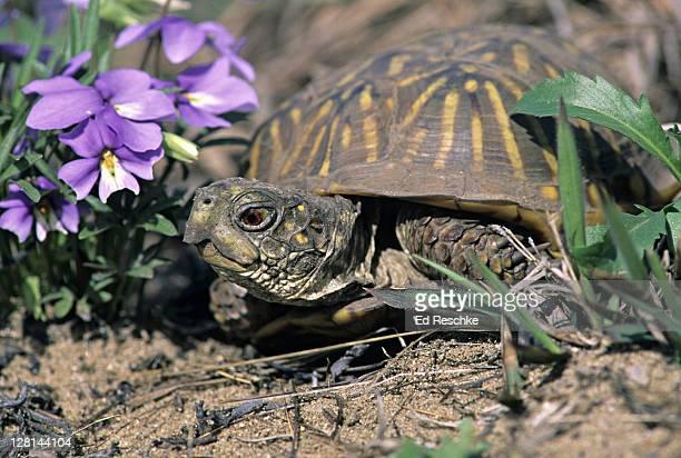 ornate box turtle, terrapene o. ornata, terrestrial turtle whose shell closes tightly when threatened, illinois, usa - asiatische wildkatze stock-fotos und bilder