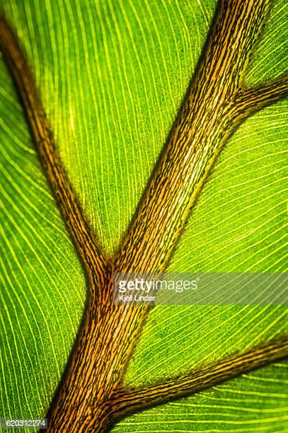 ornate detail of a transparent leaf - chlorophyll stock pictures, royalty-free photos & images