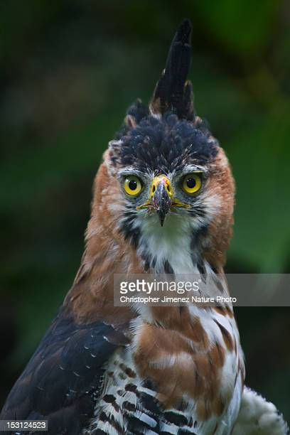 ornate hawk eagle - christopher jimenez nature photo stock pictures, royalty-free photos & images