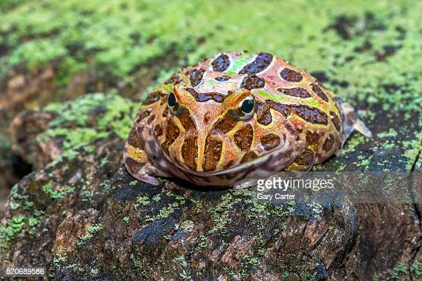 ornate horned frog - horned frog stock photos and pictures