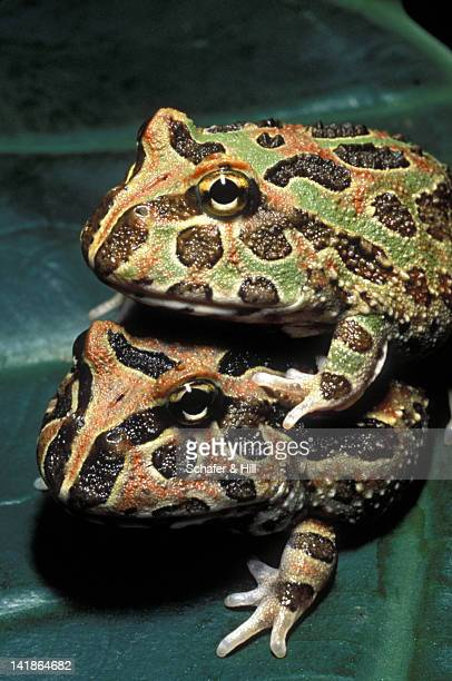 ornate horned frogs mating. ceratophrys ornata. brazil - asiatische wildkatze stock-fotos und bilder