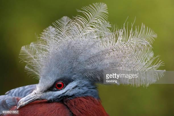 Ornithological park . Scheepmaker's crowned pigeon .