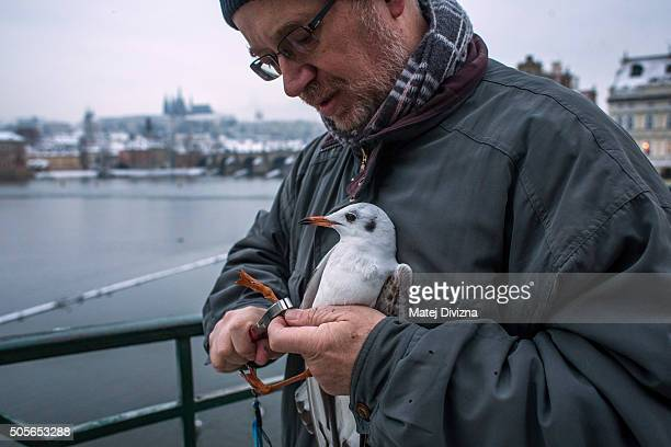 Ornithologist Ivan Miksik from the Bird Ringing Centre of the Czech National Museum holds a gull as he rings it on the bank of the Vltava river on...