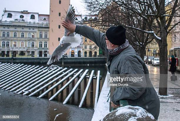 Ornithologist Ivan Miksik from the Bird Ringing Centre of the Czech National Museum captures gulls by hand for ringing on the bank of the Vltava...