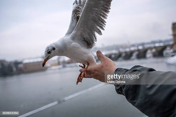 Ornithologist Ivan Miksik from the Bird Ringing Centre of the Czech National Museum releases gull after ringing on the bank of the Vltava river on...
