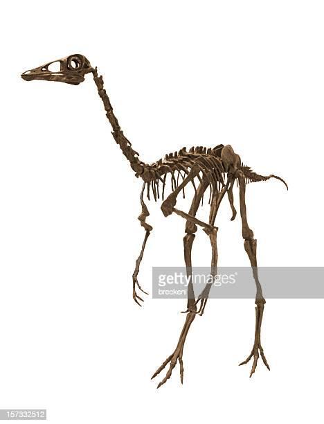 ornithominmus - animal skeleton stock photos and pictures