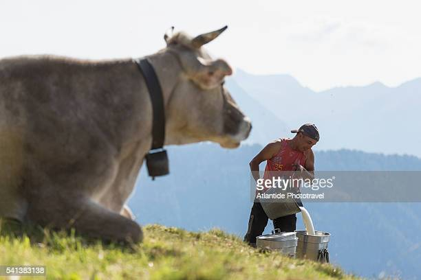 Orobic Alps (Alpi Orobie Valtellinesi) Natural Park - Valtellina, a cow and a shepherd pouring down fresh milk on the background