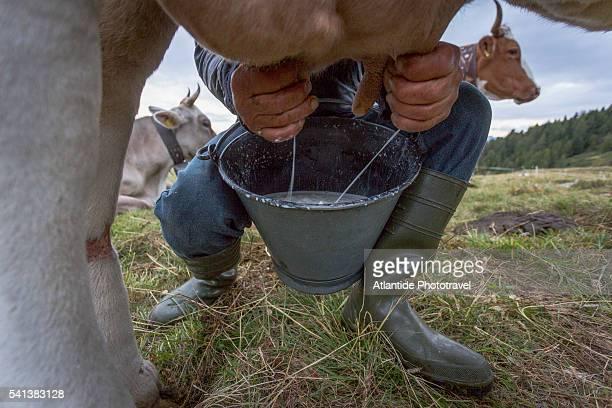 orobic alps (alpi orobie valtellinesi) natural park - valtellina, traditional hand milking of a cow - mann beim melken stock-fotos und bilder