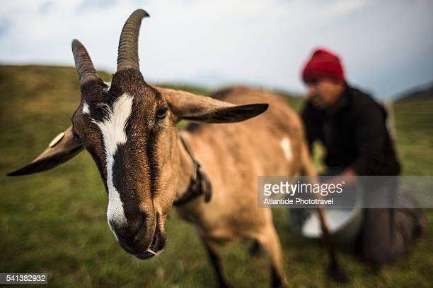 Orobic Alps (Alpi Orobie Valtellinesi) Natural Park - Valtellina, traditional hand milking of a goat