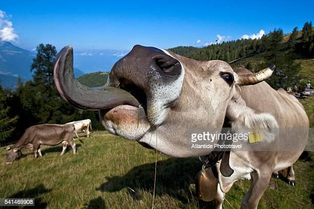 orobic breed in danger of extinction - 動物の舌 ストックフォトと画像