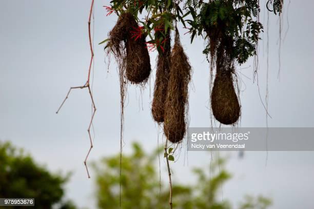 oropendola nests - nicky pende foto e immagini stock