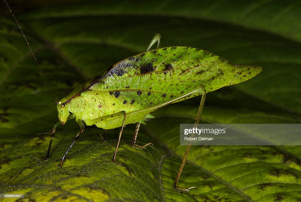 Orophus tesellatus : Stock Photo