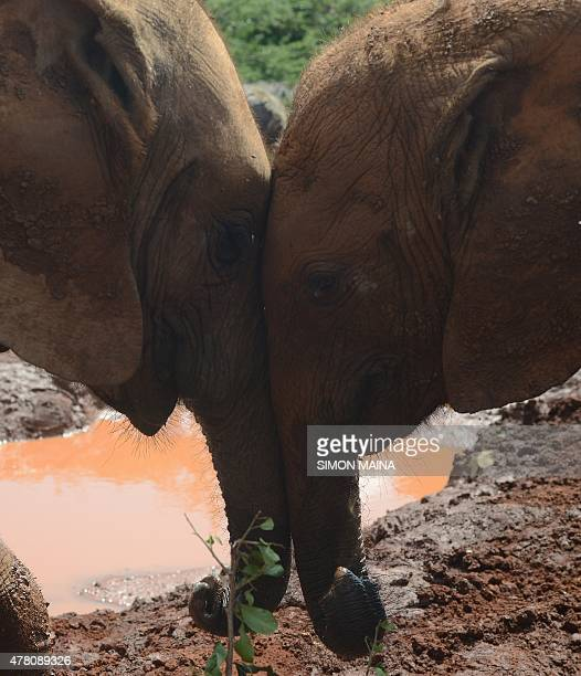 Orphan baby elephants play on June 22 2015 at the David Sheldrick Wildlife Trust in Nairobi a Kenyan wildlife conservation charity The trust manages...