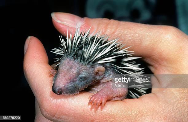 Orphan oneweekold European hedgehog baby in hand at animal shelter