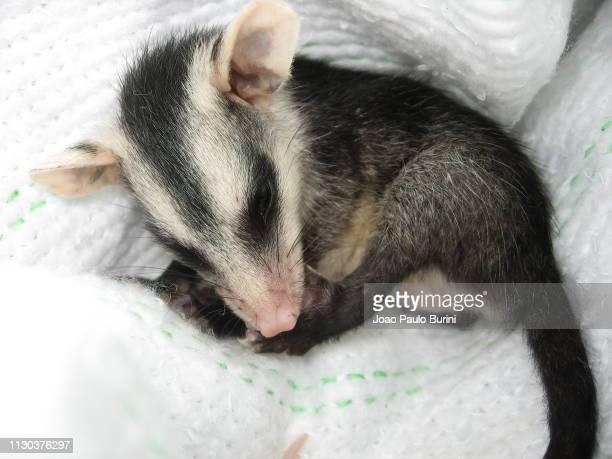 orphan opossum rescue - opossum foto e immagini stock