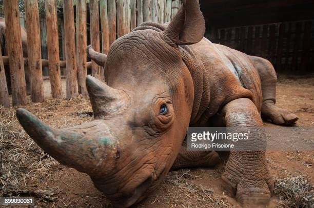 orphan rhino in rescue shelter, nairobi, kenya - animal rescue stock pictures, royalty-free photos & images