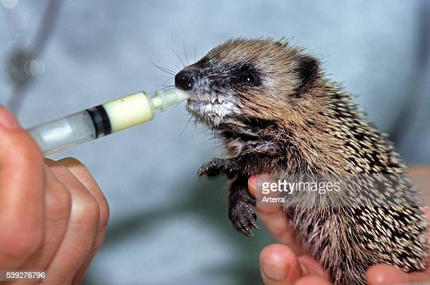 Orphaned baby European hedgehog drinking milk by hand in animal shelter