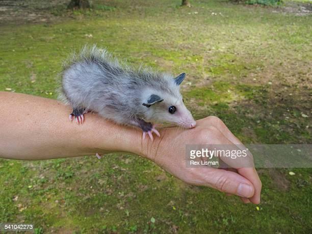 orphaned baby opossum standing on a person's arm - opossum americano foto e immagini stock