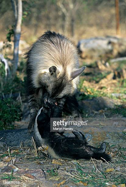 Orphaned Brown Hyena playing with Honey Badger, raised together, Moholoholo Nature Reserve, South Africa