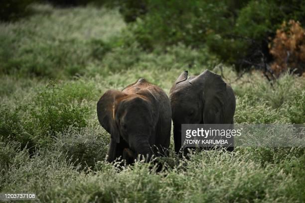 Orphaned elephant calves amble through bush during a routine walk in a surrounding thicket at Reteti Elephant Sanctuary in Namunyak Wildlife...