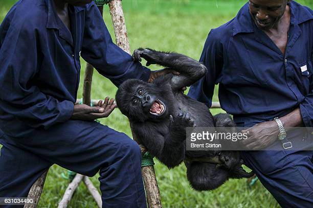 Orphaned mountain gorilla Ndkasi and her ICCN conservation ranger caregiver Baboo play in the makeshift gorilla orphanage in Goma Democratic Republic...