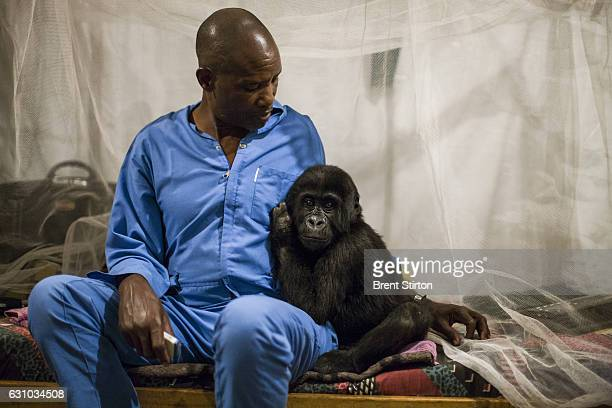 Orphaned mountain gorilla Ndkasi and her ICCN conservation ranger caregiver prepare for bed in the makeshift gorilla orphanage in Goma The caregiver...