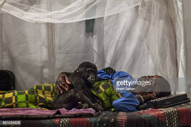 Orphaned mountain gorilla Ndkasi and her ICCN conservation ranger caregiver prepare for bed as he reaches to bring down the Mosquito net around them...