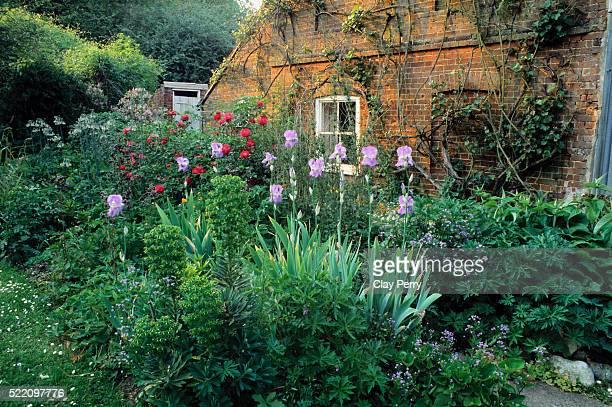 Orris Irises in Country Garden