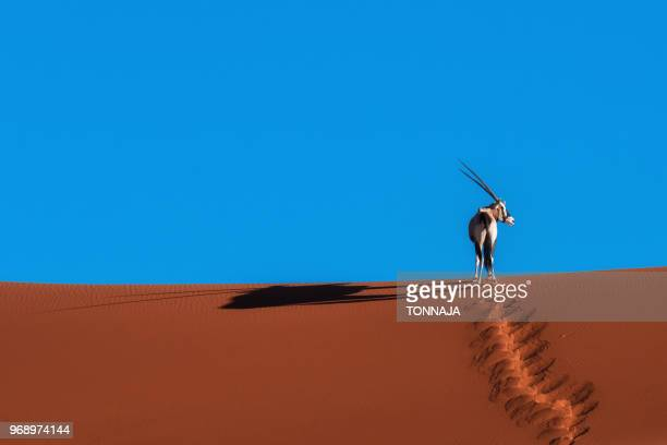 oryx antelope at the namib desert - safari animals stock pictures, royalty-free photos & images