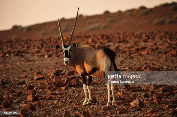 Oryx antelope (Oryx) marches through the barren scree landscape in the evening sun, Kunene, Namibia