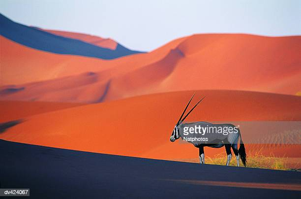 oryx antelope - namib naukluft national park stock pictures, royalty-free photos & images