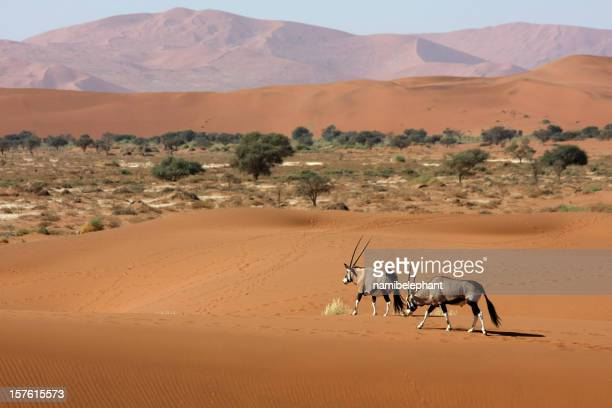 oryx antelopes in the desert