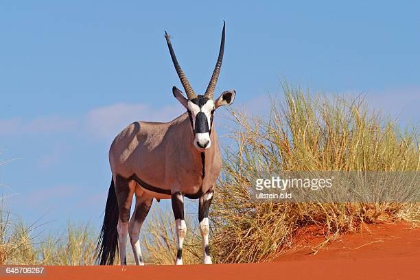 Oryx Antilope Spiessbock
