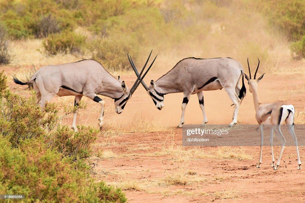Oryx Fighting in Kenya : Stock Photo