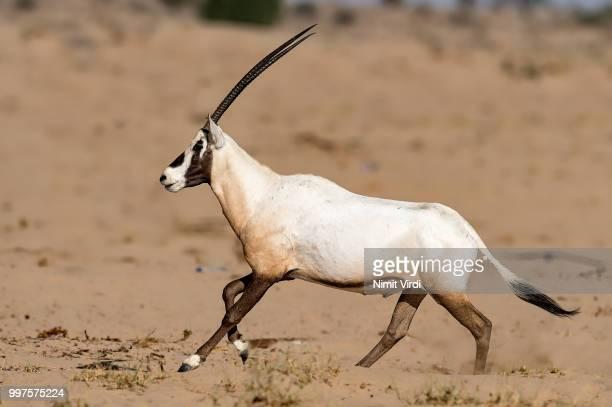 Oryx Gallop