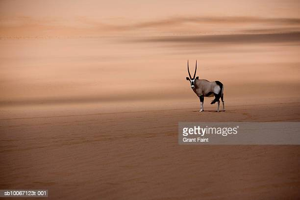 oryx in namb desert - one animal stock pictures, royalty-free photos & images