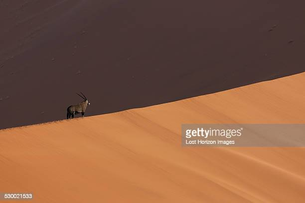 Oryx in shadow on giant sand dune, Sossusvlei National Park, Namibia
