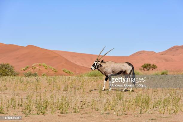 oryx in sossusvlei - namib naukluft national park stock pictures, royalty-free photos & images