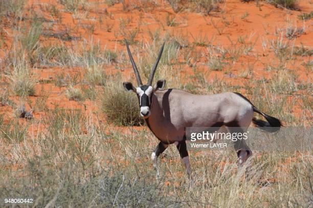 Oryx in the Kalahari