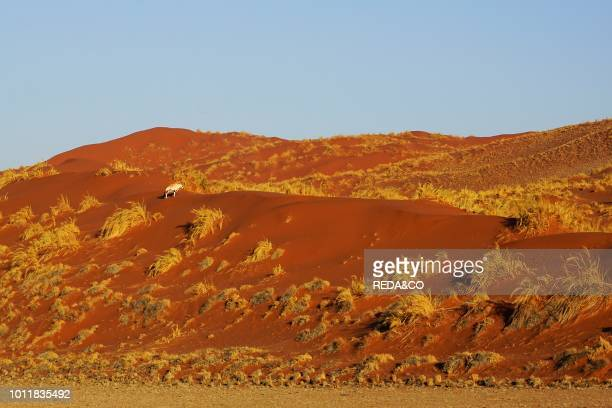 Oryx in the Namibian desert Africa