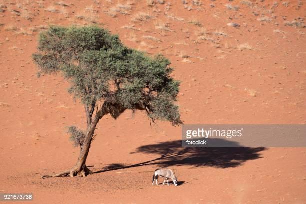 Oryx-Antilopen Mit Akazienholz, Namibia