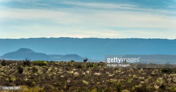 oryx or gemsbok on the open veld of the great karoo. - palanca negra imagens e fotografias de stock