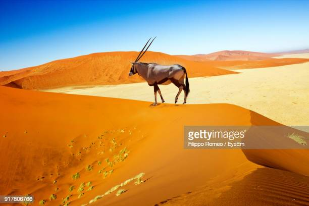 Oryx Standing On Sand At Desert Against Clear Sky